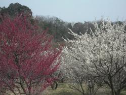 梅がきれい2013