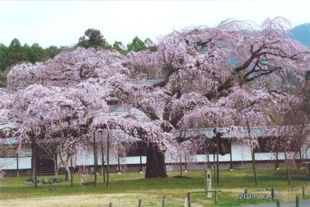 20110330桜