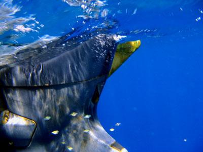 コガネアジ幼魚