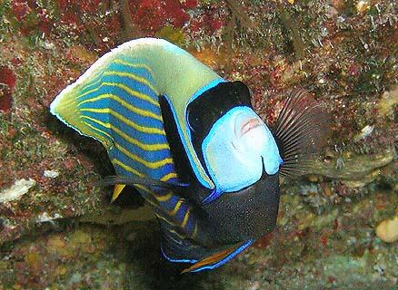 タテキン成魚