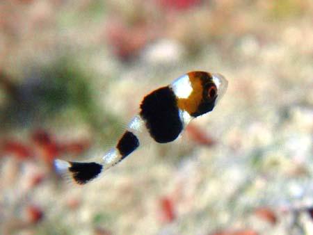 アジアコショウダイ幼魚