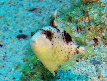 モンガラ幼魚