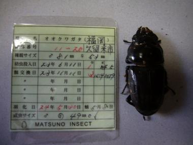 マツノ11-20