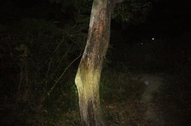 またまたいい樹
