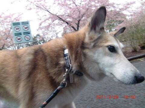 寒空の河津桜