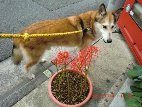 鉢植えの彼岸花
