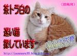 茶トラ白の迷い猫さがいています(徳島)