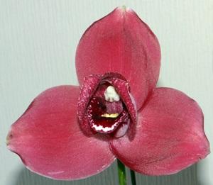リカステの花