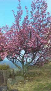 念願の八重桜