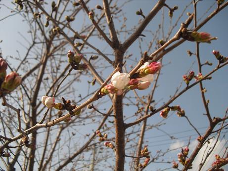 6 桜は咲き始め