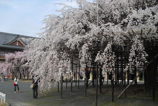 14 天理教本部前・枝垂桜