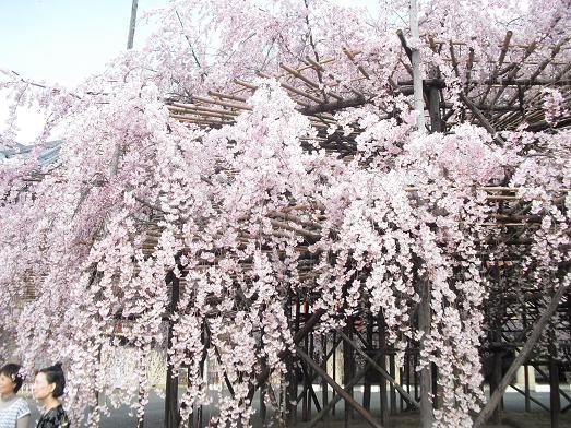 15 天理教本部前・枝垂桜