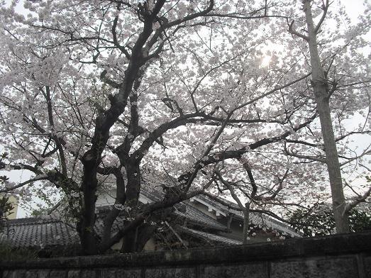 3 近所の桜・満開