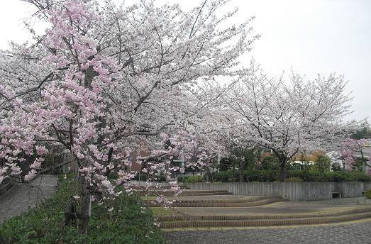 4 近所の桜・図書館満開