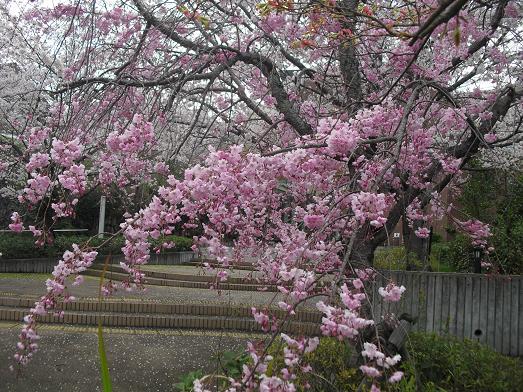 5 近所の桜・図書館満開