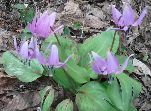 9 かたくりの花