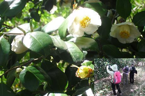 5 白い椿が満開
