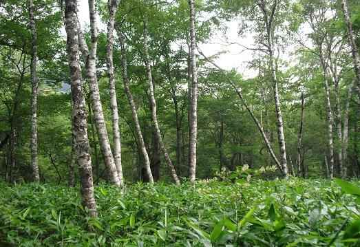 13 ダケカンバの林