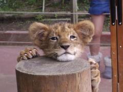 ちびライオン