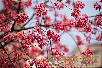 桜20130318