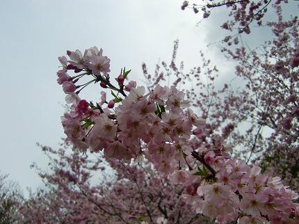 桜じゃないよ~12.4.18
