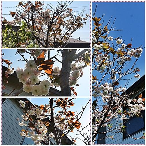 pageクー君家の桜