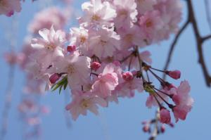 20120412桜散る2