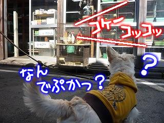川越 街を歩く ニワトリ怖い