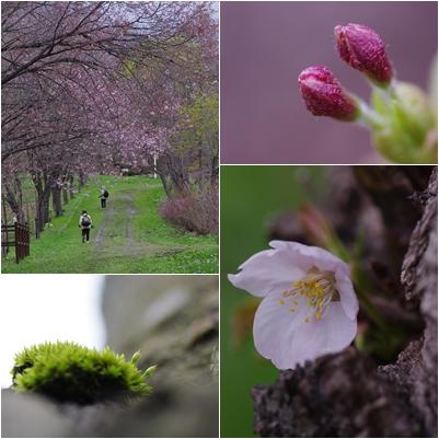 0510桜