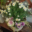花かんざし、咲きだしました