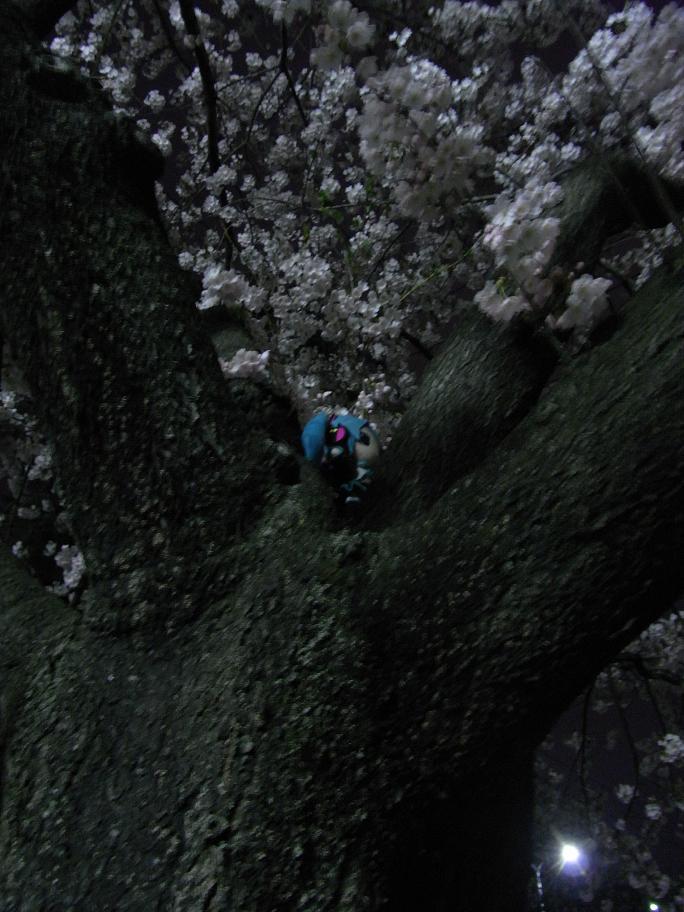 桜の樹の上のミクさん 2