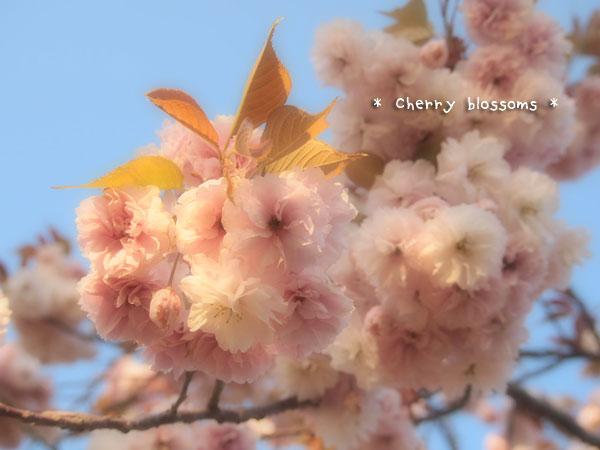 八重桜白2