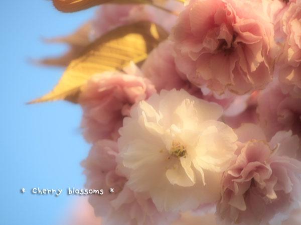 八重桜白4