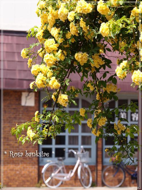 木香薔薇2