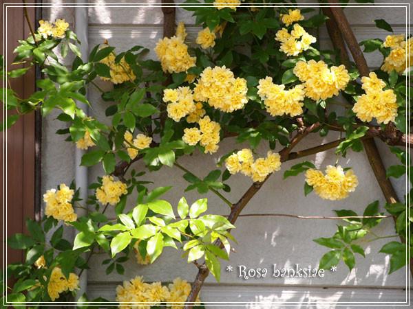 木香薔薇6