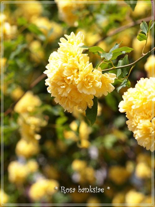 木香薔薇8