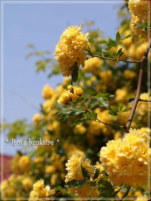 木香薔薇9
