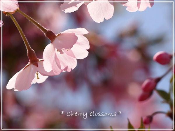 sakura3_20110823145725.jpg