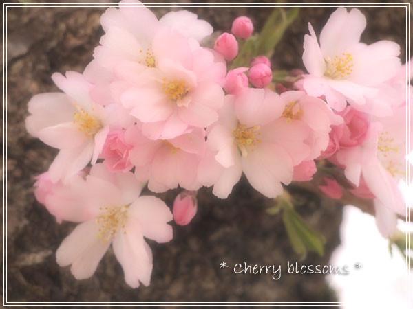 sakura_20110823145622.jpg