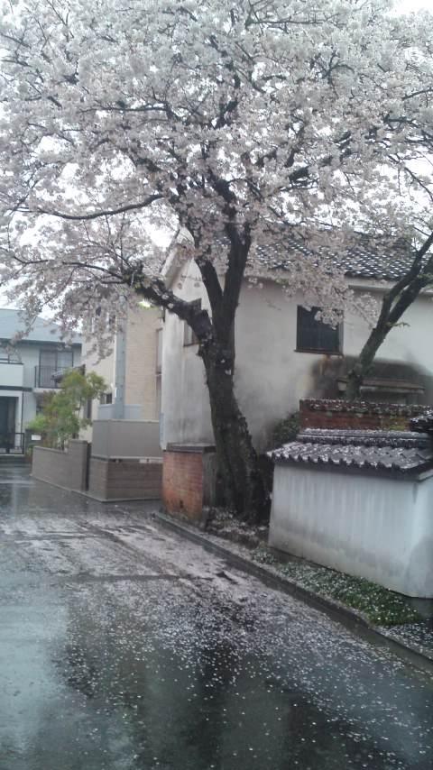 120411_桜