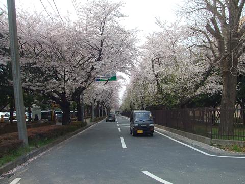 110410_桜01
