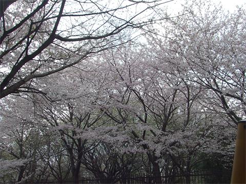110410_桜02