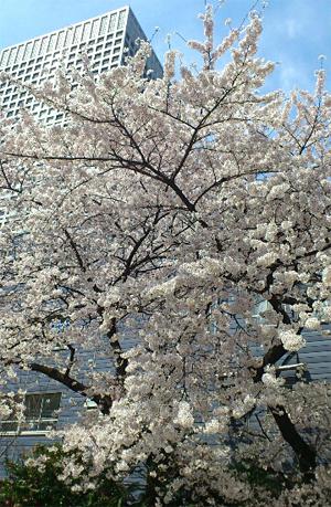 110410_桜04