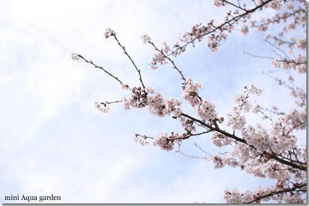 sakura20100403_2.jpg