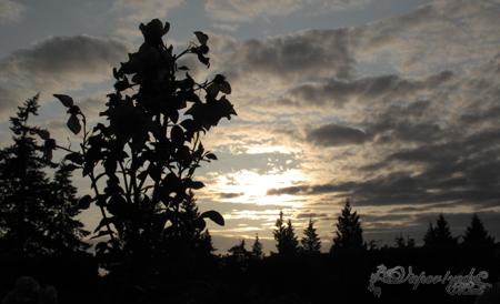 夕陽下的玫瑰