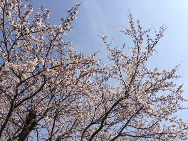 0404桜園