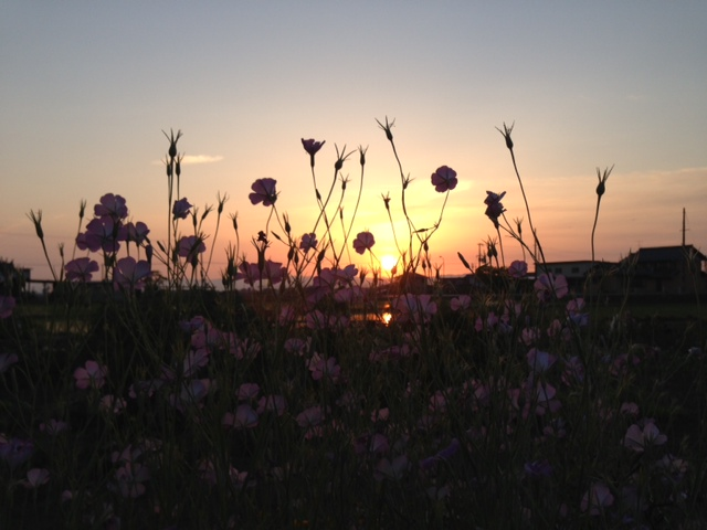うち夕焼けお花