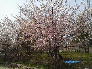 大仙公園桜