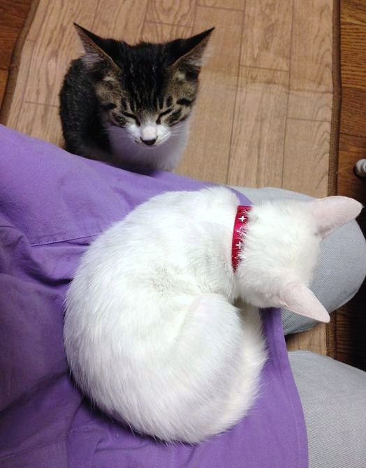 20131112お膝猫