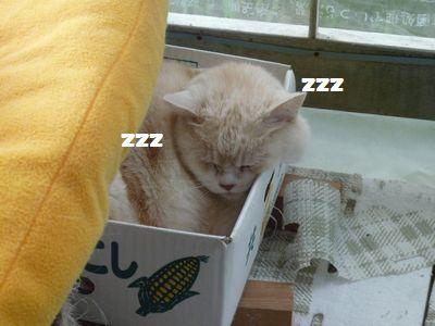 箱で寝るチャチャ